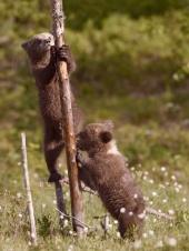Klatrebjørnunger - Tore Johan