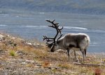 Ellen Toft-Svalbard-rein