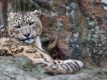 Tore Johan Birkeland - Betenkt snøleopard