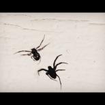 Kari Skodvin Synkronballett med edderkopp