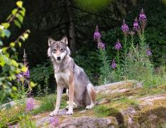 Møte med ulv