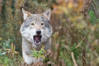 Bjørn Ruistuen - Pratsom ulv