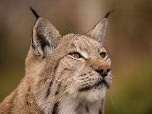 Torstein Gleditsch - Lynx1
