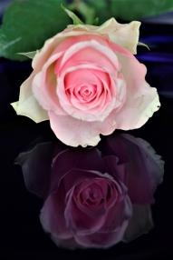 Rose på blå tallerken_